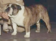 Scotts English Bulldog Champion Hotzes Wishful Brutus